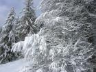 Larici ricoperti di neve