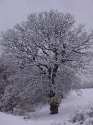 Quercia secolare ammantata di neve.
